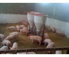 Recrutam personal ferma de porci Germania